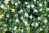 Cotoneaster integerrimus or european cotoneaster green foliage with white flowers - 180532643