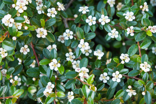 Cotoneaster integerrimus or european cotoneaster green foliage with white flowers