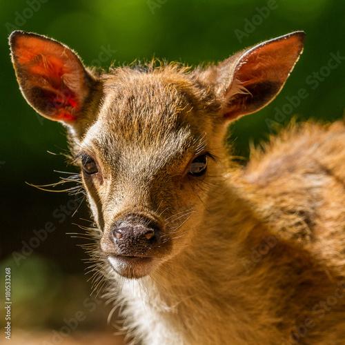 Fotobehang Kangoeroe Roe deer