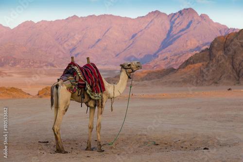 Fotobehang Kameel Arabian camel in desert . Sinai. Egypt