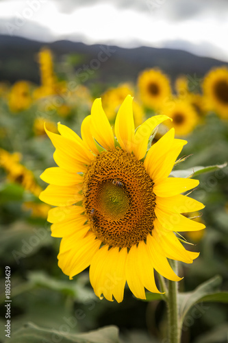 Fotobehang Oranje Sunflower Field Hawaii / Sunflower field and agriculture landscape and flower closeup in Oahu, Hawaii, USA.