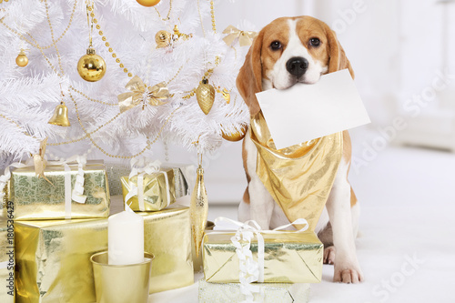 Poster Beagle dog with a greeting card