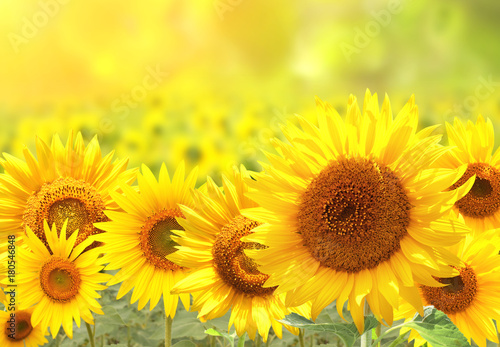 Sunflowers on blurred sunny background - 180546848
