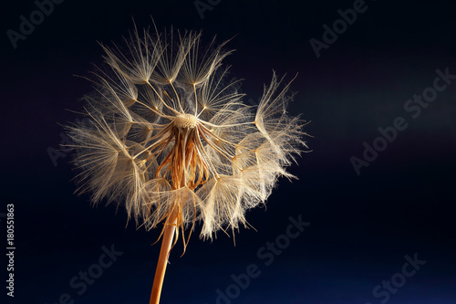dandelion on a dark blue background - 180551863
