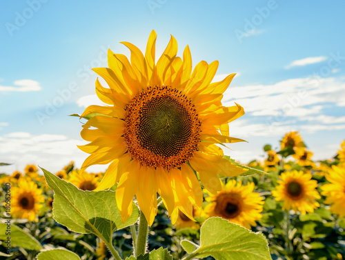 Fotobehang Planten Beautiful sunflowers in the field natural background, Sunflower blooming