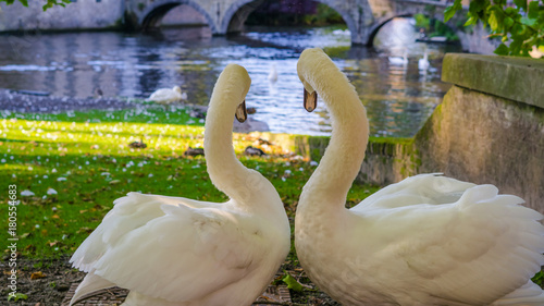 Tuinposter Brugge Belgium, Brugge, Begijnhof Couple swans on the shore, looking towards the water, to the Minnehof VOF