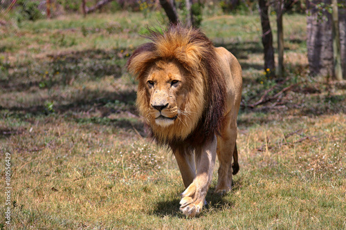Fotobehang Lion South Africa