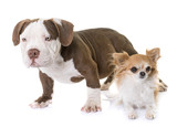 puppy american bully and chihuahua - 180559465