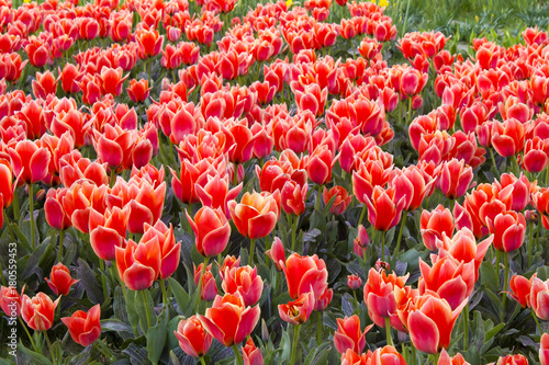 Fotobehang Tulpen A spring field with red tulips