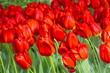 Group of red tulips in the park. - 180564036