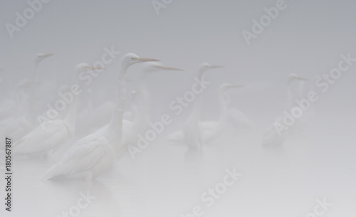 Flock of herons in Fog - 180567887