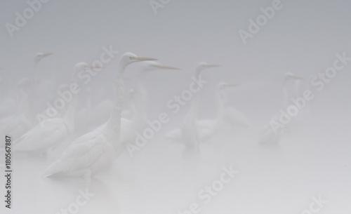 Flock of herons in Fog - 180567887