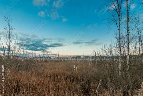 Foto op Canvas Blauwe jeans autumn evening landscape. dried birch trunks in marshland