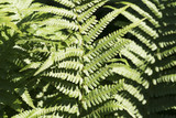 close up of a fern in spring - 180573433