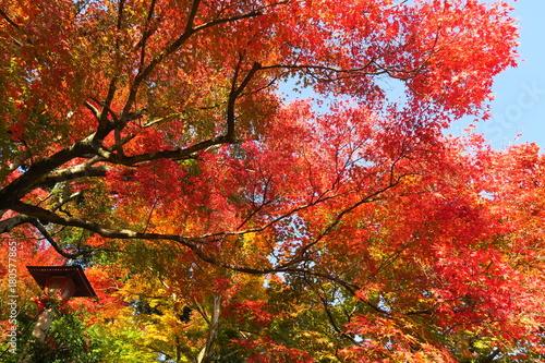 Papiers peints Rouge traffic 京都善峯寺の紅葉