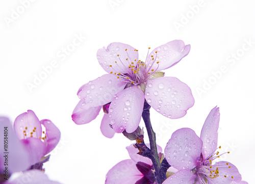 almendros en flor Poster