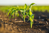 Green corn maize field in early stage - 180587891
