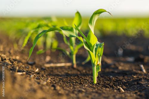 Pole kukurydzy kukurydzy na wczesnym etapie