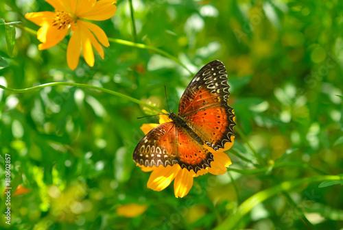 Papiers peints Vert Danaus genutia or oriental striped tiger butterfly on a flower of cosmos