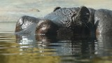 Close up portrait of one hippopotamus swimming in water, extreme close up, low angle view - 180603261