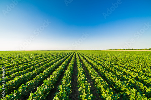 Foto Murales Green ripening soybean field, agricultural landscape