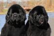 Two purebred newfoundland dogs