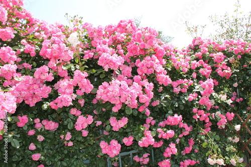Keuken foto achterwand Candy roze ピンクのバラの壁(山形県)