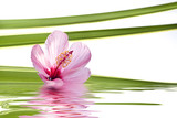 hibisco aislado - 180615664