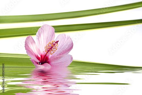 Fototapeta hibisco aislado