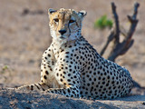 Aufnahme eines Geparden beim Ruhen liegend im Sand während er aufmerksam die Umgebung beobachtet fotografiert im Krüger Nationalpark in Südafrika im September 2013 - 180616687