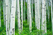 Aspen Trees Summer Forest