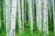 Aspen Trees Summer Forest