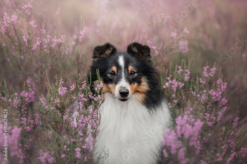 Sheltie dog sitting in the Heather Poster