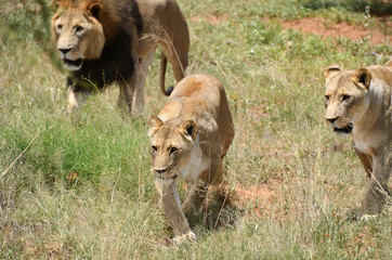 Pride of lions, Africa