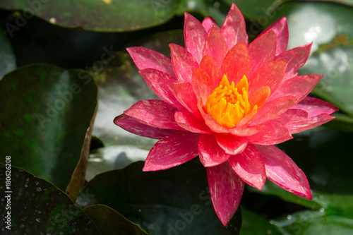 Giant red and yellow blossom of a lily flower on a lake Poster
