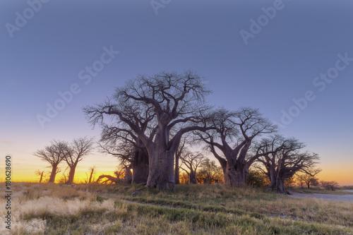 Aluminium Baobab Baines Baobab trees at sunrise
