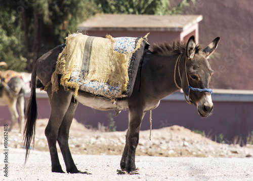 Foto op Plexiglas Marokko Donkey waiting patiently in the sun at the weekly berber open market a short way from Essaouria in Morocco