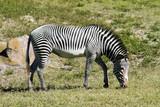 A Zebra mare grazing on the plain.