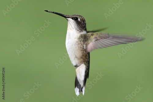 Ruby-throated Hummingbird (archilochus colubris) Poster