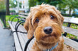 miniature goldendoodle portrait