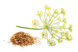 Green wild fennel flowers with dry seeds isolated - 180652686