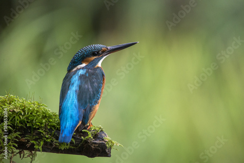 Kingfisher on lookout Poster