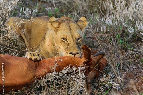 Fotobehang Lion Natural Born Predator