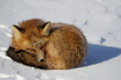 Red fox curled up in a snowbank near Churchill, Manitoba Canada