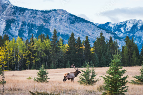 Foto Spatwand Canada Wild elk in the Canadian Rockies, Banff National Park