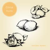 Hand drawn set with citrus fruits - lemon, tangerine. Vector illustration. Vintage style