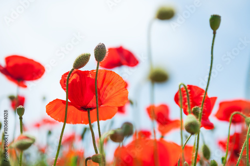 Foto op Canvas Klaprozen Red poppy flowers against the blue sky.