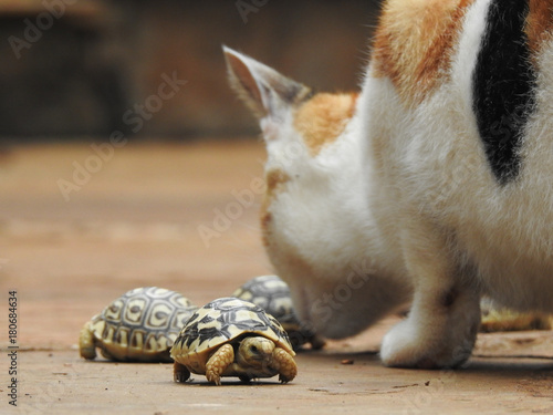 Fotobehang Schildpad Cat Sniffing Baby Turtles