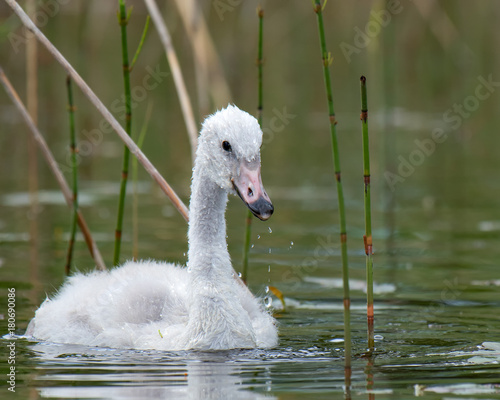 Fotobehang Zwaan Young Whooper Swan (Cygnus Cygnus) eats Water horsetail
