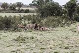 Savanne der Maasai Mara/Africa und ihre Löwen